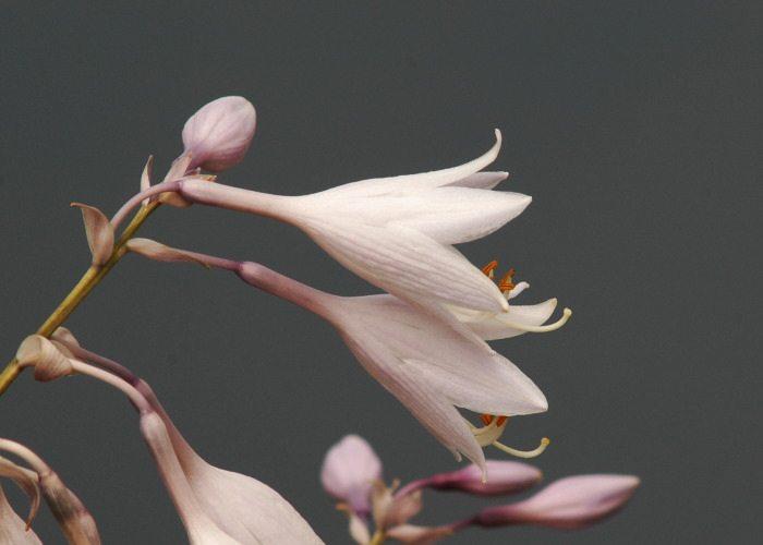 オオバギボウシの画像 p1_19
