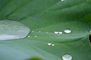 ハスの葉の水玉