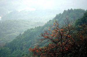 山の柿の木